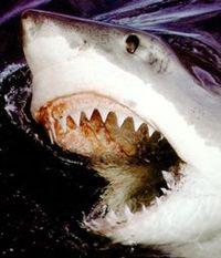 Shark_arrrr